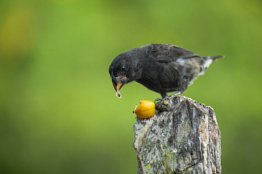 Large Ground Finch (Geospiza magnirostris) feeding on fruit, Puerto Ayora, Santa Cruz Island, Galapagos Islands, Ecuador