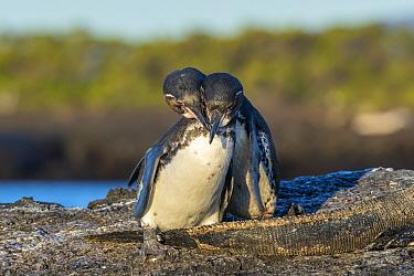 Galapagos Penguin (Spheniscus mendiculus) pair courting, Punta Moreno, Isabela Island, Galapagos Islands, Ecuador