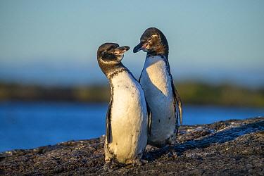 Galapagos Penguin (Spheniscus mendiculus) pair, Punta Moreno, Isabela Island, Galapagos Islands, Ecuador
