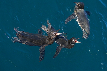Galapagos Penguin (Spheniscus mendiculus) pair calling, Tagus Cove, Isabela Island, Galapagos Islands, Ecuador