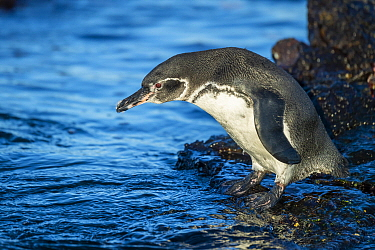 Galapagos Penguin (Spheniscus mendiculus), Punta Moreno, Isabela Island, Galapagos Islands, Ecuador