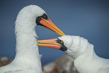 Nazca Booby (Sula granti) pair courting, Genovesa Island, Galapagos Islands, Ecuador