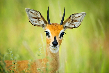 Steenbok (Raphicerus campestris) male, Kgalagadi Transfrontier Park, South Africa