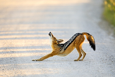 Black-backed Jackal (Canis mesomelas) stretching, Kgalagadi Transfrontier Park, South Africa