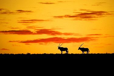 Oryx (Oryx gazella) pair at sunset, Kgalagadi Transfrontier Park, South Africa
