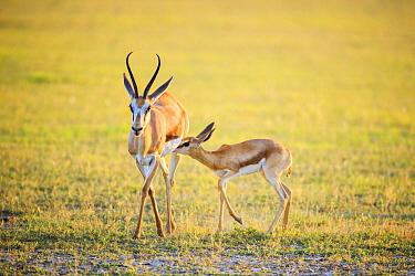 Springbok (Antidorcas marsupialis) mother nursing calf, Kgalagadi Transfrontier Park, South Africa