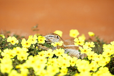 Cape Ground Squirrel (Xerus inauris) feeding on flowers, Kgalagadi Transfrontier Park, South Africa