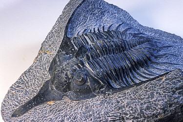 Trilobite (Psychopyge elegans) fossil
