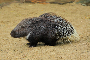 Indian Crested Porcupine (Hystrix indica), native to Asia