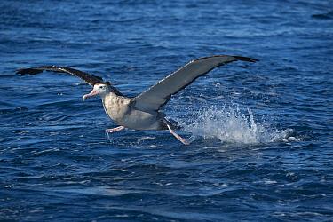 Antipodean Albatross (Diomedea antipodensis) taking flight, New South Wales, Australia
