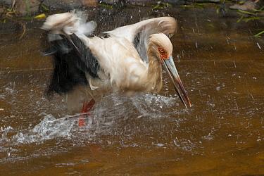 Maguari Stork (Ciconia maguari) bathing, native to South America