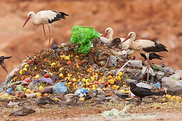 White Stork (Ciconia ciconia) group and Common Raven (Corvus corax) foraging at garbage dump, Morocco