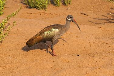 Hadada Ibis (Bostrychia hagedash), Niokolo-Koba National Park, Senegal