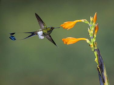 Booted Racket-tail (Ocreatus underwoodii) hummingbird feeding on flower nectar, Ecuador