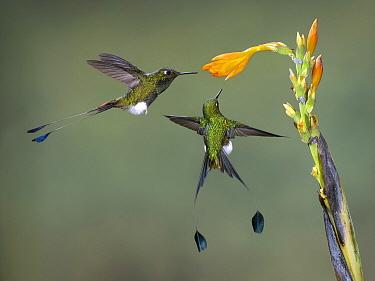 Booted Racket-tail (Ocreatus underwoodii) pair feeding on flower nectar, Ecuador