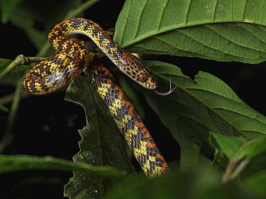 Panama Spotted Night Snake (Siphlophis cervinus) flicking tongue, Yasuni National Park, Ecuador