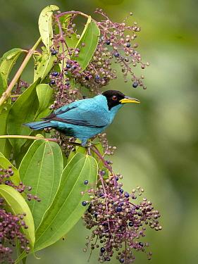 Green Honeycreeper (Chlorophanes spiza), Panama