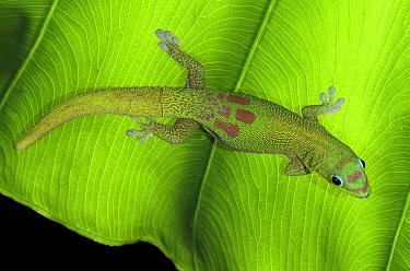 Gold Dust Day Gecko (Phelsuma laticauda), Hawaii