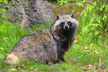 Raccoon Dog (Nyctereutes procyonoides), Hesse, Germany