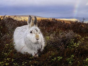 Mountain Hare (Lepus timidus), Cairngorms National Park, Scotland