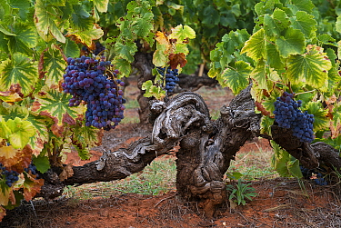 Old grape vine in the orchards of Mormoiron, Vaucluse, Provence, France