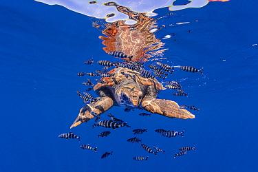 Loggerhead Sea Turtle (Caretta caretta) and Pilot Fish (Naucrates ductor), Santa Maria Island, Azores, Portugal