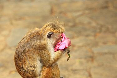 Toque Macaque (Macaca sinica) feeding on Lotus (Nelumbo sp.) flower, Sri Lanka