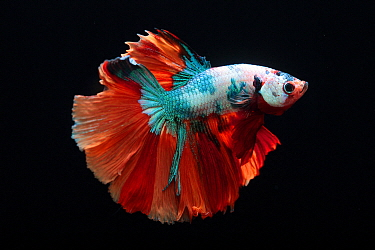 Siamese Fighting Fish (Betta splendens) 'Half Moon Fancy' male, native to Asia