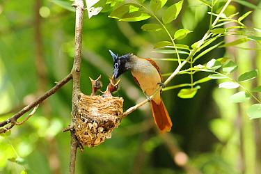 Asian Paradise Flycatcher (Terpsiphone paradisi) parent feeding chick at nest, Sri Lanka