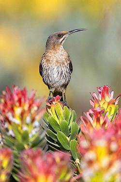 Cape Sugarbird (Promerops cafer) male, Western Cape, South Africa