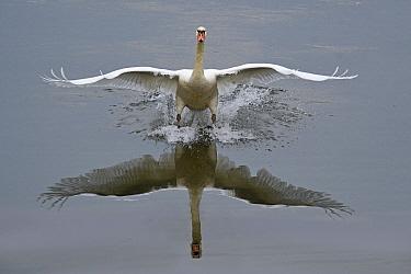 Mute Swan (Cygnus olor) landing, Sauer Delta National Nature Reserve, France