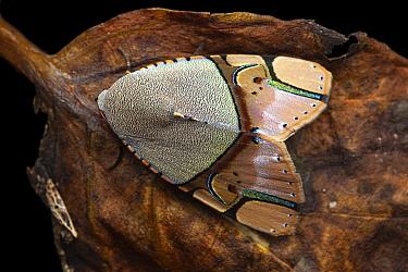 Noctuid Moth (Ramadasa pavo) imago, Kinabalu National Park, Borneo, Malaysia