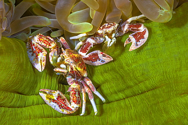 Porcelain Crab (Porcellanidae) pair sharing sea anemone, Raja Ampat, Indonesia