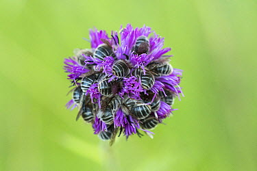 Bee (Apidae) sleeping group buried in infloresence, Alpes-de-Haute-Provence, France