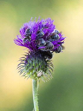Bee (Apidae) sleeping group buried in infloresence near Crab Spider (Runcinia grammica), Alpes-de-Haute-Provence, France