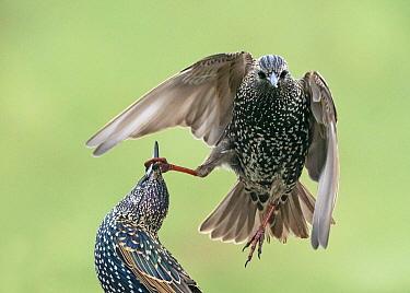 Common Starling (Sturnus vulgaris) pair fighting, England