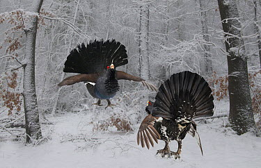 Western Capercaillie (Tetrao urogallus) pair fighting in winter, Bayrischer Wald National Park, Germany