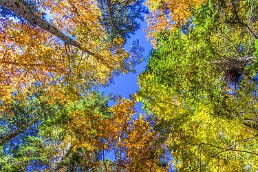 Deciduous forest in autumn, Vercors Regional Natural Park, France
