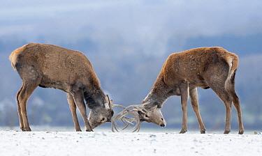 Red Deer (Cervus elaphus) stags fighting in winter, England