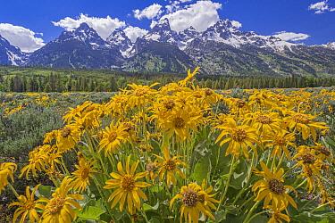 Mule-ears (Wyethia amplexicaulis) flowers and Tetons, Grand Teton National Park, Wyoming