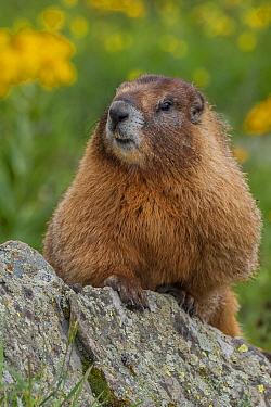 Yellow-bellied Marmot (Marmota flaviventris), Rocky Mountains, Colorado