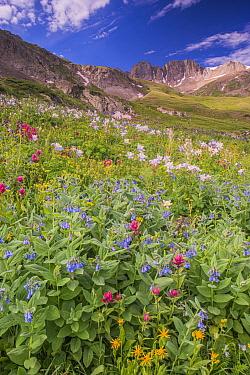 Splitleaf Indian Paintbrush (Castilleja rhexifolia) flowers in alpine zone, Rocky Mountains, Colorado