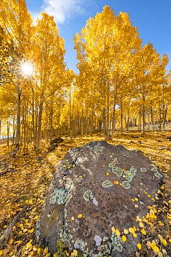 Quaking Aspen (Populus tremuloides) trees in autumn, Grand Staircase-Escalante National Monument, Utah