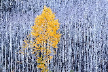 Quaking Aspen (Populus tremuloides) tree in autumn, Grand Staircase-Escalante National Monument, Utah