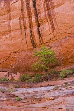 Tree below sandstone cliff, Davis Canyon, Escalante River, Lake Powell, Glen Canyon National Recreation Area, Utah
