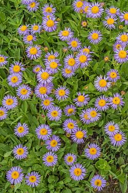 Rocky Mountain Alpine Fleabane (Erigeron grandiflorus) flowers, Yellowstone National Park, Wyoming