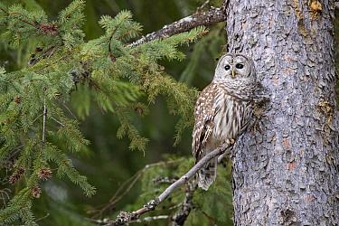 Barred Owl (Strix varia), Montana
