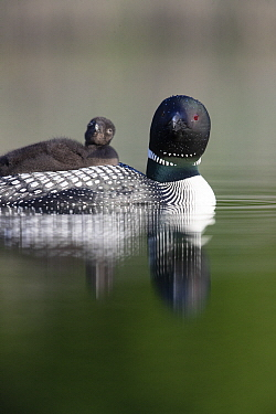 Common Loon (Gavia immer) parent carrying chick, Montana