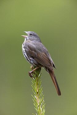 Fox Sparrow (Passerella iliaca) calling, Montana