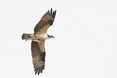 Osprey (Pandion haliaetus) flying with fish prey, Montana
